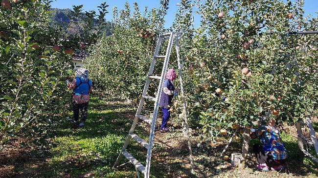 사과잎 소제 작업