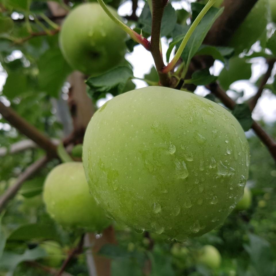 햇사과가 이렇게 자랐어요